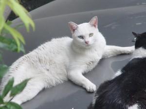 きれいな白猫