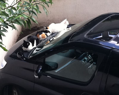 ボンネット猫